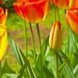 Red tulips in bloom with one closed standing out. Keukenhof. Lis — Stock Photo #25344327