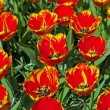 Royalty-Free Stock Photo: Red yellow tulips in spring. Top view. Keukenhof. Lisse.
