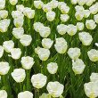 Field of white tulips in spring. Top view. — Stock Photo #25344419
