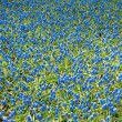 Field of blue bells in spring. Top view. — Stock Photo
