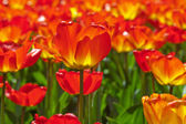 Field of red tulips with one in focus. Spring. — Stock Photo