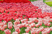 Garden with pink and red tulips in spring. — Stock Photo