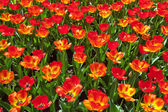 Field of red tulips top view. Spring. — Stock Photo