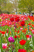 Colorful spring tulip garden with tourists in the background. Ke — Stock Photo