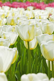 Field of white tulips with one in focus in spring. — Stock Photo