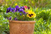Small pansies or viola planted in clay pots in the springtime ga — Stock Photo