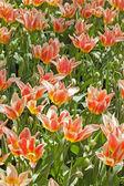 Pink tulips. — Stock Photo