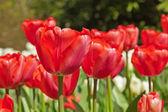 Red tulips in spring. — Foto de Stock