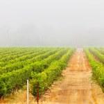 Vineyard culture landscape in the mist. Napa Valley. California. — Stock Photo