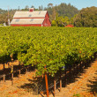 Vineyard with red barn and blue sky. NapValley. California. US — Stock Photo #25991775