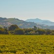Vineyard landscape with hills in the background. Blue sky. Napa — Stock Photo #25996681