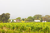 Vineyard with houses in the mist. Napa Valley. California. USA. — Stock Photo