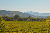 Vineyard landscape with hills in the background. Blue sky. Napa — Stock Photo