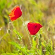 Close-up of two poppy flowers in field of grass. Blurred backgro — Stock Photo