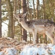 Young deer in snow winter forest. — Stock Photo