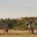 gruppo di cavalli selvaggi nel paesaggio di dune di erba. cavalli Konik — Foto Stock