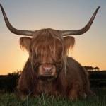 Scottish highlander cow in grass dune landscape at sunset. — Stock Photo