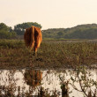 Scottish highlander cow walking away from camera on swampy groun — Stock Photo