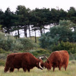 Two bull scottish highlanders fighting in field of grass. — Stock Photo