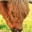 Close-up of scottish highlander cow with flies around his eye. E — Stock Photo #27154059