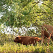 Two scottish highlander cows cooling down in shadow in bushes ne — Stock Photo