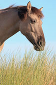 Grazing wild horse in grass dune landscape. Konik horse. — Stock Photo
