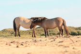 Dva divoké koně v duna krajiny. koně konik. — Stock fotografie
