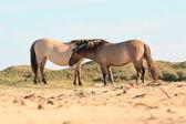 Due cavalli selvaggi nel paesaggio di dune. cavalli konik. — Foto Stock