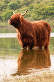 One scottish highlander standing in water. Cooling down. — Stock Photo
