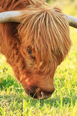 Close-up of scottish highlander cow with flies around his eye. E — Stock Photo