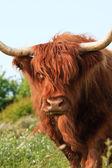 Primer plano de vaca highlander escocés caminando a la cámara. comiendo gr — Foto de Stock