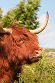 Close-up de vaca escocesa highlander com peles movido pelo vento. — Foto Stock