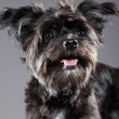 Stock Photo: Black boomer dog. Studio shot against grey.