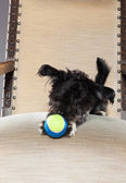 Black boomer dog lying on chair with ball. — Stock Photo
