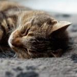 Lazy tabby cat sleeping on grey rug. — Stock Photo #28963881