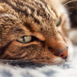 Close-up of lazy tabby cat sleeping on grey rug. — Stock Photo
