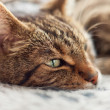 Close-up of lazy tabby cat sleeping on grey rug. — Stock Photo #28963941