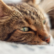 Close-up of lazy tabby cat sleeping on grey rug. — Stock Photo #28963955