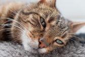 Close-up of lazy tabby cat sleeping on grey rug. — Stock Photo