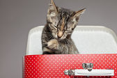 Tabby kitten washing paw in red little suitcase. Studio shot aga — Stock Photo