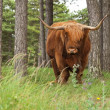 Stock Photo: Scottish highlander with big horns cow in pine tree forest.