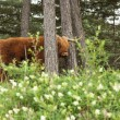 Scottish highlander with big horns cow in pine tree forest. — Stock Photo #29841385