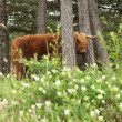 Scottish highlander with big horns cow in pine tree forest. — Stock Photo #29845903