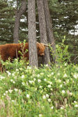 Scottish highlander with big horns cow in pine tree forest. — Stock Photo