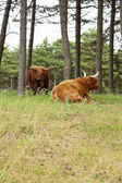 Scottish highlander with big horns cow in pine tree forest. — Stockfoto