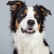 Border collie dog black brown and white isolated against grey ba — Stock Photo #30205647