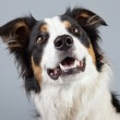 Border collie dog black brown and white isolated against grey ba — Stock Photo #30210725