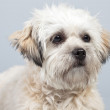White boomer dog isolated against grey background. Studio portra — Stock Photo #30211823