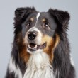 Border collie dog black brown and white isolated against grey ba — Stock Photo #30213855