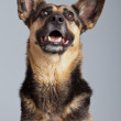 Funny mixed breed shepherd dog with big ears isolated against gr — Stock Photo